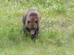 Picture of Grizzly bear eating clover by Alaska Highway