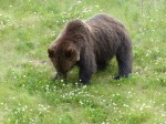 Picture of a Grizzly by the Alaska Highway