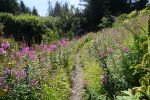 Hiking though wild flowers in Seward